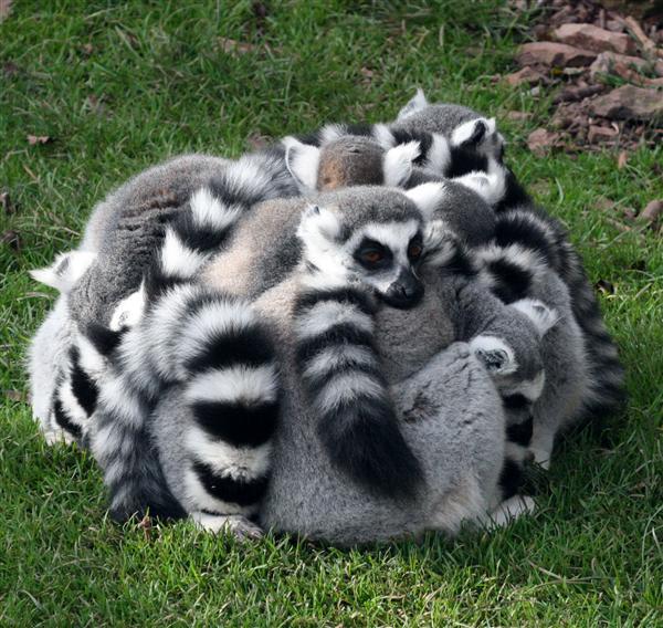 Lemur-group-hug
